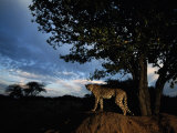 An African Cheetah Scouts for Prey from the Top of a Large Termite Mound Photographic Print by Chris Johns