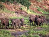 African Elephants, Tanzania Photographic Print by D. Robert Franz