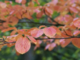 Close View of Pacific Dogwood Tree Leaves in the Fall Photographic Print by Marc Moritsch