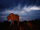 A Lone African Cheetah Prowls Around Just Before Nightfall Photographic Print by Chris Johns