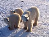 Polar Bear Mother & Cubs, Thalarctos Maritimus Photographic Print by D. Robert Franz