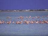Flamingoes, Bonaire Fotografisk trykk av John Dominis