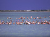 Flamingoes, Bonaire Photographic Print by John Dominis