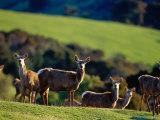 Deer Farm, Banks Peninsula, Canterbury, New Zealand Photographic Print by Paul Kennedy