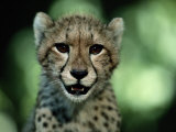 Portrait of a Juvenile African Cheetah Photographic Print by Chris Johns