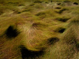 Thick Grasses Blow in the Wind Photographic Print by Todd Gipstein