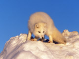 Arctic Fox, Winter Pelage, Alopex Lagopus Photographic Print by D. Robert Franz