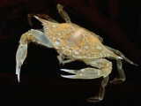 A Juvenile Blue Crab Snapping its Claws in Self-Defense Photographic Print by George Grall