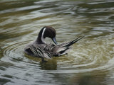 A Northern Pintail Grooms its Feathers While Floating in the Water Photographic Print by Bates Littlehales