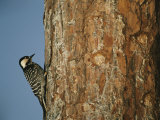 Red Cockaded Woodpecker on a Tree Trunk Photographic Print by Raymond Gehman