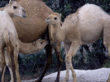 Camels Photographic Print by Henry Horenstein