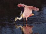 Une spatule rosée cherche de la nourriture dans le parc national des Everglades Papier Photo par Medford Taylor