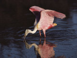 A Roseate Spoonbill Forages for Food in Everglades National Park Photographic Print by Medford Taylor