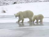 Polar Bear & Cub in Churchill, Manitoba Photographic Print by Keith Levit