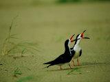 Vocalizing Black Skimmer Birds Photographic Print by James P. Blair