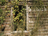 Vines Cover the Window of a Dilapidated Building Photographic Print by Medford Taylor