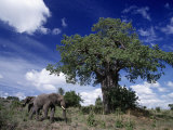 African Elephants and Baobab Tree Photographic Print by D. Robert Franz