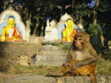 A Rhesus Monkey at the Swayambhunath Temple in Kathmandu Photographic Print by Michael Melford