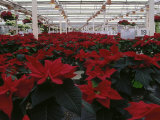 Poinsettias in Greenhouse Photographic Print by John Luke