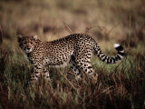 A Portrait of a Wild African Cheetah Photographic Print by Chris Johns