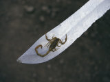 A Small Scorpion Found in the School Storage Room Sits on a Knife Blade Photographic Print by Maria Stenzel