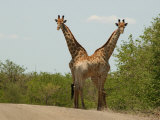 Kruger National Park, South Africa, Giraffe Photographic Print by Keith Levit