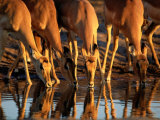 Female Impalas Drink at a Watering Hole Photographic Print by Beverly Joubert