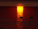 Silhouetted Canada Geese at Twilight Photographic Print by Medford Taylor