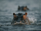 Hippos Swim Through the Chobe River Photographic Print by Chris Johns