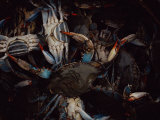 A Bucket of Soft-Shell Crabs Photographic Print by Medford Taylor