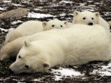 Polar Bear, Mother and Cubs, Ursus Maritimus Photographic Print by Yvette Cardozo