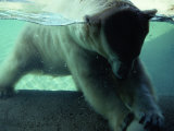 A Polar Bear Plays with a Ball under the Water Photographic Print by Michael Nichols