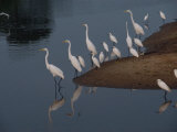 Common Egrets Stand at the Waters Edge Photographic Print by Medford Taylor