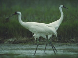 Two Whooping Cranes at the Refuge Photographic Print by Joel Sartore