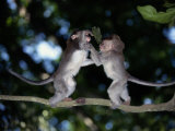 Two Young Long-Tailed Macaques Wrestle While Balancing on a Tree Branch Photographic Print by Tim Laman