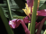 Banana Flower and Lizard, Jardin de Balata, FWI Photographic Print by Walter Bibikow