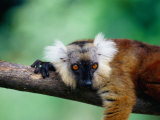 Female Black Lemur (Eulemur Macaco Macaco) on Branch, Antsiranana, Madagascar Photographic Print by Karl Lehmann