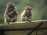 Rhesus Monkeys at Concession Area, Baiyun Cavern, Pingxiang Photographic Print by Raymond Gehman