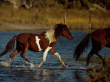 A Chincoteague Pony Runs in the Shallow Water Photographic Print by Medford Taylor
