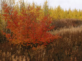 A Dwarf Birch Tree Shows its Autumn Colors Photographic Print by Raymond Gehman