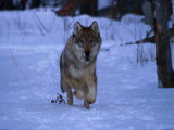Gray Wolf Runs in Snow by Trees, Canis Lupus Photographic Print by Lynn M. Stone