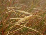 A Close View of Raindrops on the Meadow Grass Photographie par Raymond Gehman