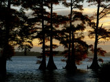 Bald Cypress Trees Growing Along the Banks of Reelfoot Lake Photographic Print by Raymond Gehman