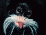 A Captive Emperor Tamarin Sticks its Tongue Out Photographic Print by Tim Laman