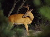 A Large Antlered Buck Looks Back Photographic Print by Medford Taylor