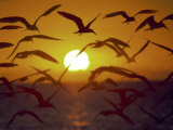 Sunset and Seagulls on Green Key, Port Richey Photographic Print by Dennis Macdonald