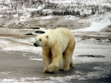 Polar Bear, Ursus Maritimus on Tundra in Churchill Photographic Print by Yvette Cardozo