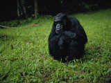 Chimpanzee in the Rain Photographic Print by Michael Nichols
