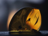 Amber Containing Fossilized Insects Fotografisk tryk af Thomas J. Abercrombie