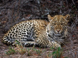 Leopard, Panthera Pardus, Londolozi Game Reserve Photographic Print by Yvette Cardozo